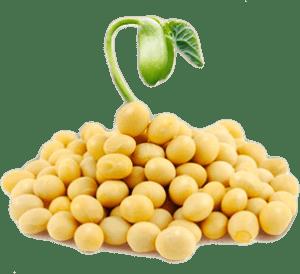 Kết quả hình ảnh cho mầm đậu nà nh mua ở đâu tốt nhất hà nội