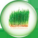 Chiết xuất mầm lúa mạch